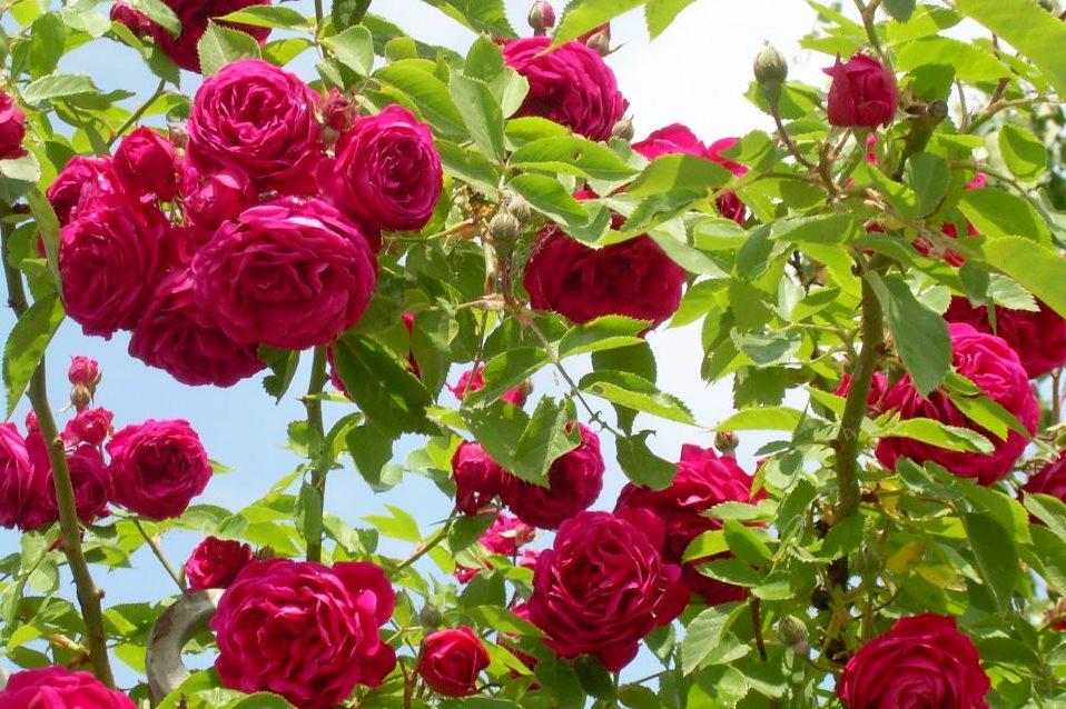 Facebook SNRS ruže