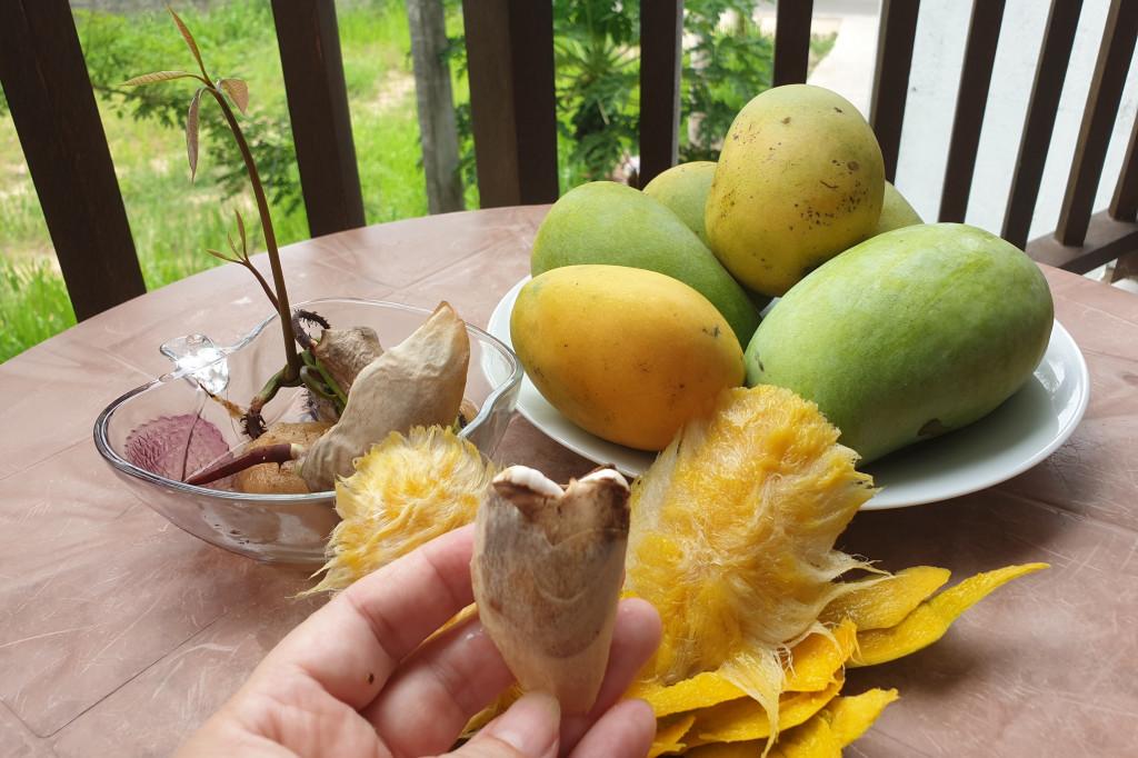 Polhena - nové mangovníky