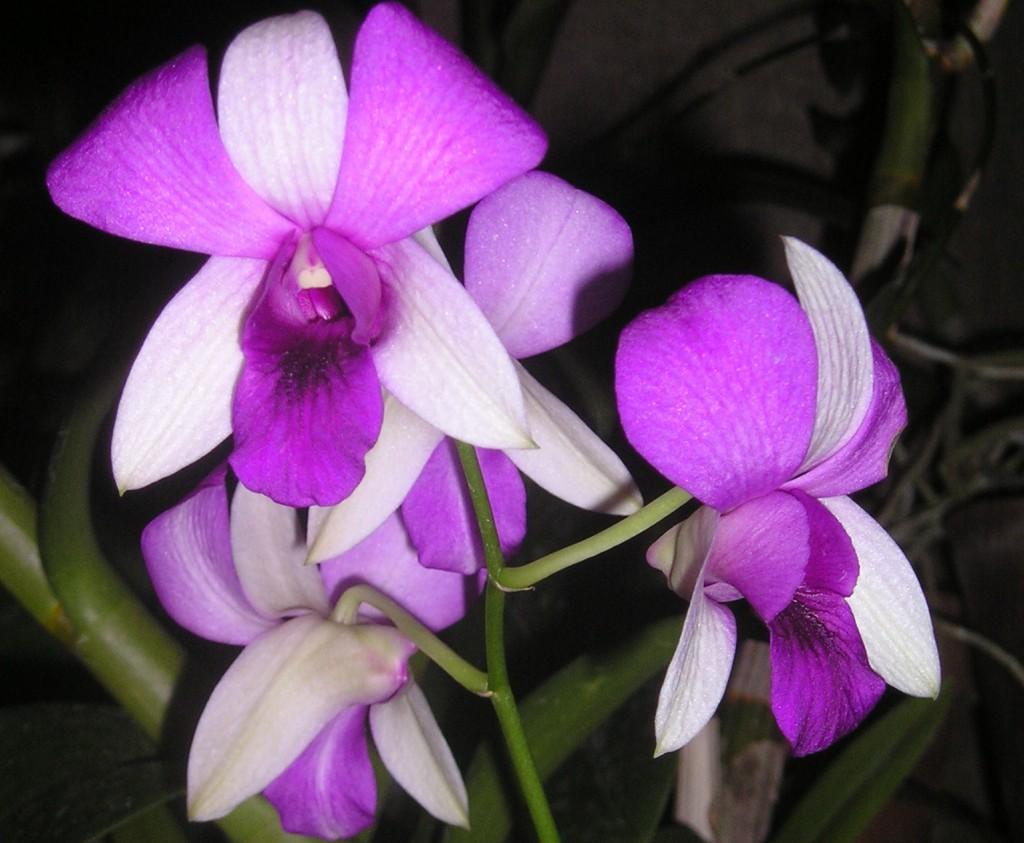 Srí Lanka - Kandy orchideje