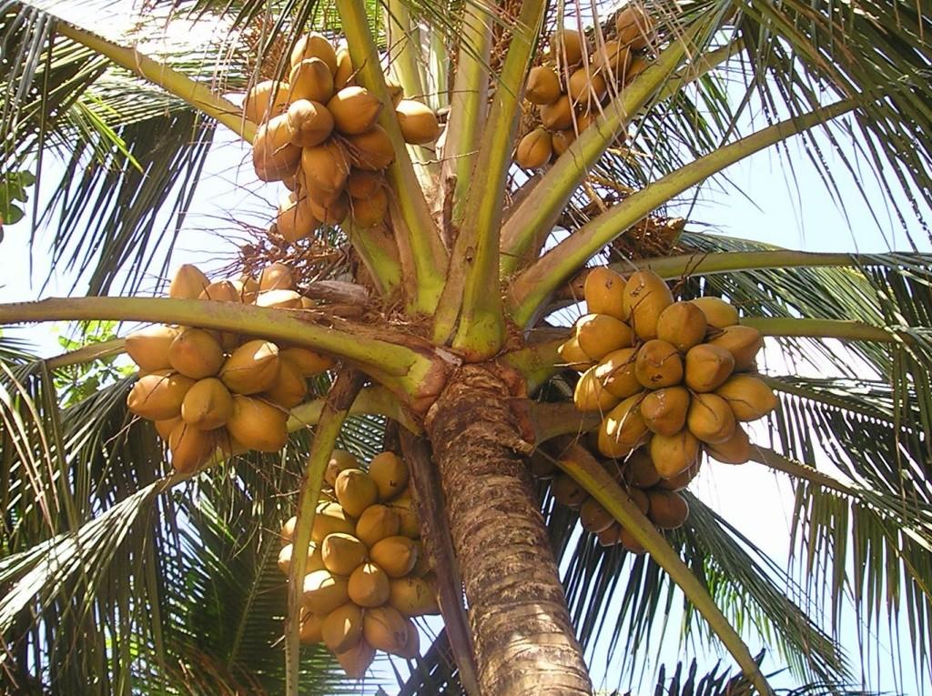 Srí Lanka - Kogalla kokos s limonádou