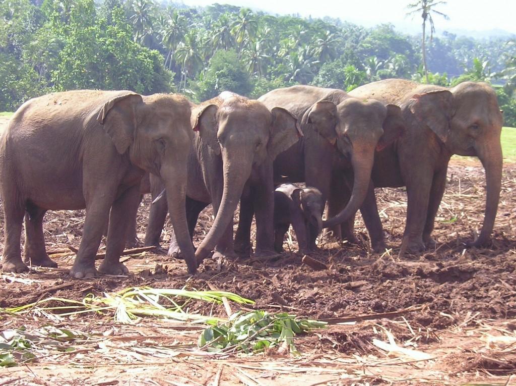Srí Lanka - Pinnewala sloní sirotinec