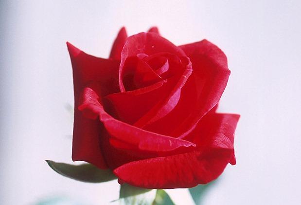 Wikimedia - červená ruža – výrez