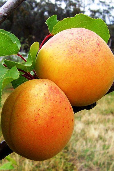 Wikipedia Apricots