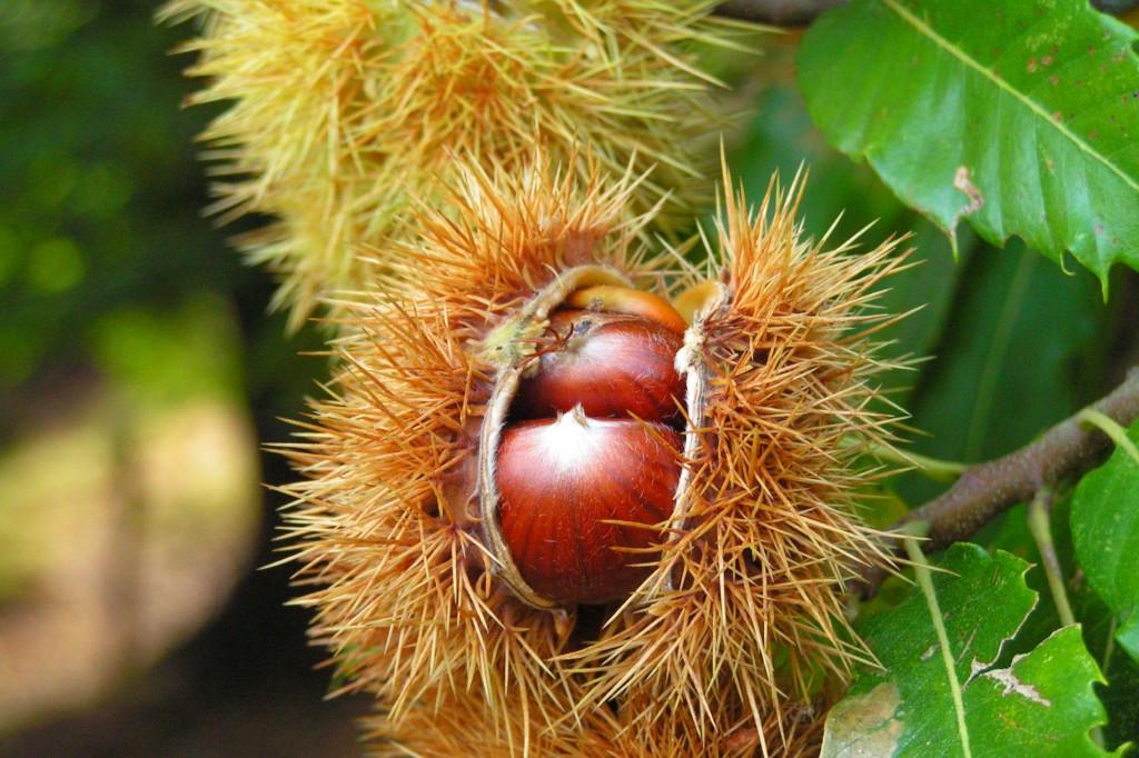 Wikipedia Frucht_der_Edelkastanie