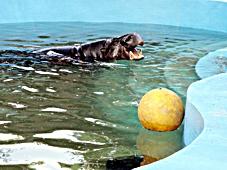hrosik s loptou v bazene